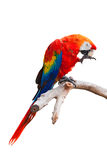 isolerad papegoja Royaltyfria Foton