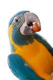 isolerad papegojawhite Arkivbilder