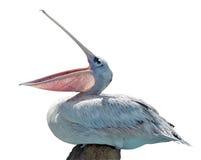 isolerad pelikan Arkivfoton