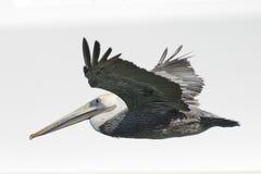 Isolerad pelikan, medan flyga Arkivfoton