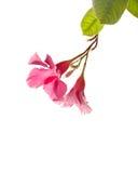 isolerad petuniapink Royaltyfria Foton