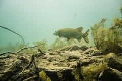 isolerad pikewhite för bakgrund fisk Arkivbilder