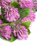 isolerad pink för växt av släkten Trifolium blomma Royaltyfri Fotografi