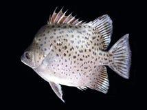 Isolerad prickig fisk Royaltyfri Foto