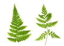 Isolerad prydnad av gröna ormbunkesidor Arkivbild
