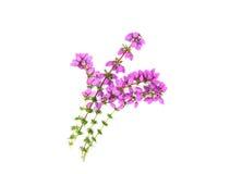 Isolerad purpur ljung Fotografering för Bildbyråer