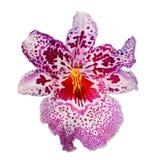 Isolerad purpurfärgad orkidéblomma Fotografering för Bildbyråer