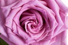 Isolerad purpurfärgad ros på vit bakgrund arkivfoton