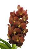 Isolerad Röd-brunt orkidéblomma Vanda Royaltyfria Foton