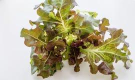 Isolerad röd ek för grönsak Fotografering för Bildbyråer