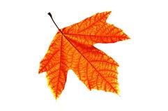 Isolerad röd Leaf Arkivbild