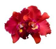 Isolerad röd orkidéblomma - Cattleya Royaltyfria Foton