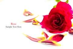 Isolerad röd ros Royaltyfri Bild
