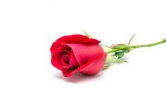 Isolerad röd ros Arkivfoto