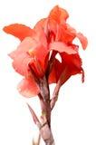 Isolerad röd växt Royaltyfri Fotografi