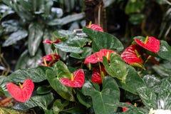 isolerad röd white för anthurium bakgrund Royaltyfri Fotografi