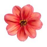 isolerad röd white för bakgrundsdahlia blomma Royaltyfri Fotografi