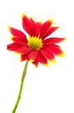 isolerad röd white för chrysanthemum blomma arkivfoton