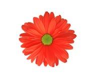 isolerad röd white för chrysanthemum blomma arkivbild