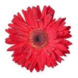 isolerad red för blomma gerbera Arkivbilder