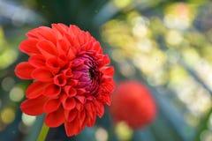 isolerad red för dahlia blomma Arkivfoto