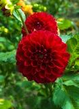 isolerad red för dahlia blomma härlig dahliablomma Royaltyfri Fotografi