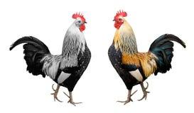 isolerad rooster Arkivfoton