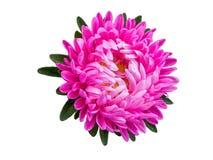 Isolerad rosa färgblomninggerbera eller tusensköna färgrik blommawhite för bakgrund Arkivbild