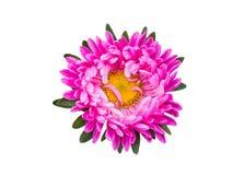 Isolerad rosa färgblomninggerbera eller tusensköna färgrik blommawhite för bakgrund Royaltyfria Bilder