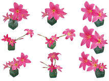 Isolerad rosa färgregnLily Zephyranthes uppsättning Arkivbild
