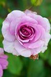 Isolerad rosa färgros Arkivfoton