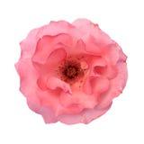 Isolerad rosa färgros Royaltyfri Fotografi