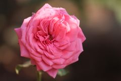 Isolerad rosa färgros i trädgården Arkivbilder