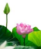 Isolerad rosa lotusblomma Royaltyfri Foto