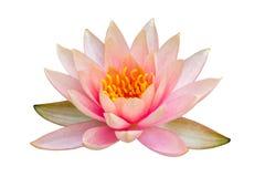 Isolerad rosa lotusblomma arkivbilder