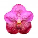 Isolerad rosa orkidéblomma Fotografering för Bildbyråer