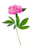 Isolerad rosa pion Arkivbild