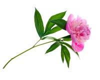 Isolerad rosa pion Royaltyfri Fotografi