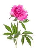 Isolerad rosa pion Royaltyfri Bild