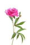 Isolerad rosa pion Arkivbilder