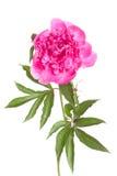 Isolerad rosa pion Fotografering för Bildbyråer