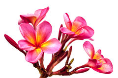 Isolerad rosa Plumeria Fotografering för Bildbyråer