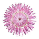 isolerad rosa strawflower för bracteatum helichrysum Royaltyfri Foto