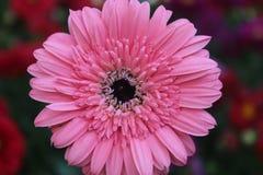 Isolerad rosa tusenskönablomma i trädgården Royaltyfri Foto