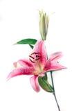 isolerad rosa white för bakgrund härlig iris Arkivbild