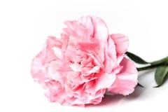 isolerad rosa white för nejlika blomma Royaltyfri Foto