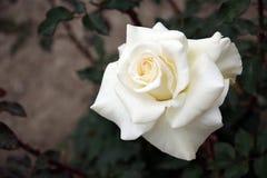 isolerad rosewhite Arkivfoton