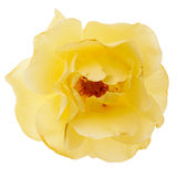 isolerad roseyellow Royaltyfria Foton