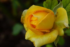isolerad roseyellow Royaltyfri Fotografi