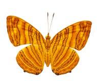 Isolerad rygg- sikt av gemensamt smör för mapletChersonesia risa Royaltyfri Foto